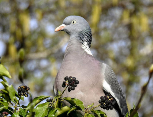 El Ayuntamiento logra reducir la población de palomas en la localidad