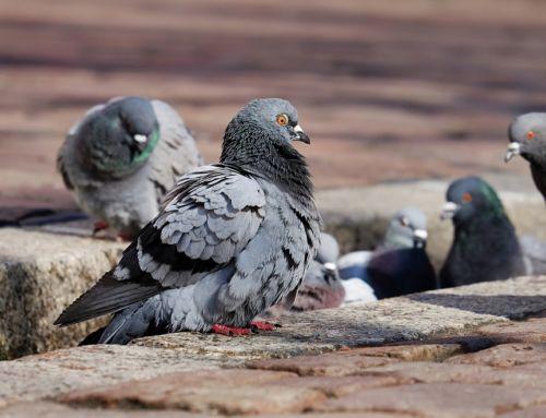 El Ayuntamiento activa un plan para controlar la plaga de palomas